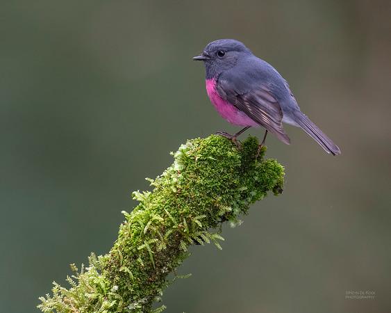 Pink Robin, Otway Ranges, VIC, Oct 2018-6