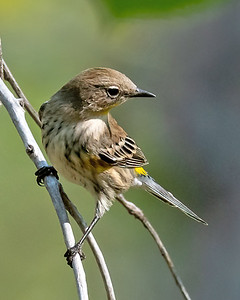 Yellow-rumped Warbler-2
