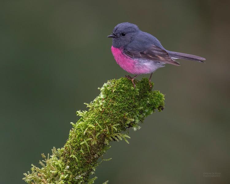 Pink Robin, Otway Ranges, VIC, Oct 2018-7