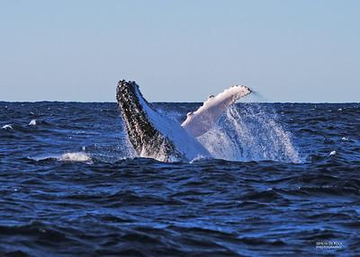 Humpback Whale, Southport, QLD, Jul 2009