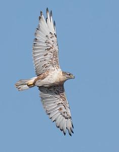Ferruginous Hawk-219