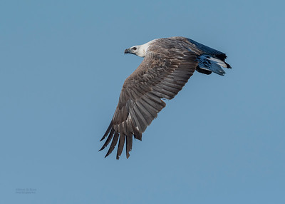 White-bellied Sea Eagle, Dee Why, Sydney, NSW, Oct 2018-1