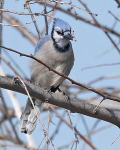 Blue Jay-7