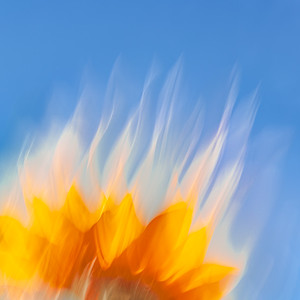 Sunflower #9