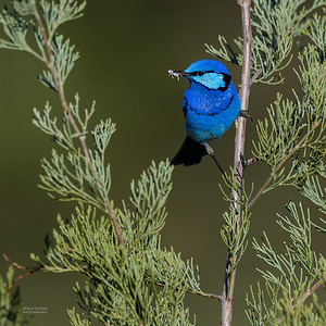 Splendid Fairywren, Round Hill NR, NSW, Oct 2018-8
