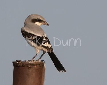 Loggerhead Shrike-25