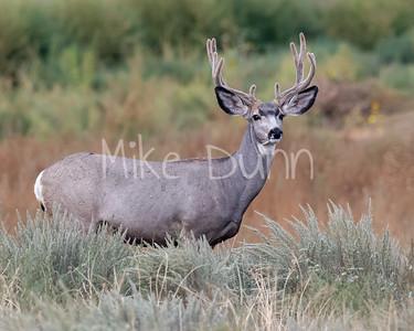 Mule Deer-52