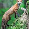Fox on Mossy Stump