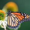 Monarch on Cone Flower