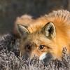 Low Profile Fox