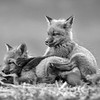 Relaxed Red Fox Kits 2