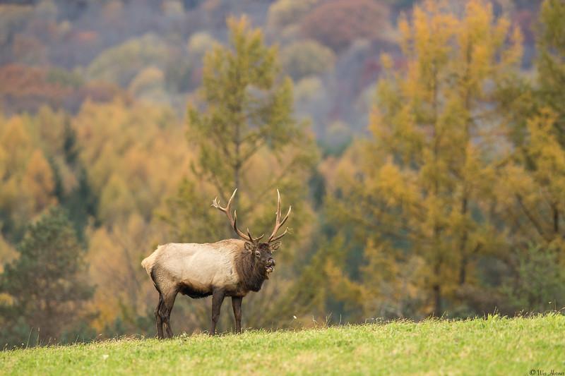 Autumn Elk