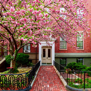 Cherry Blossoms in the Back Bay