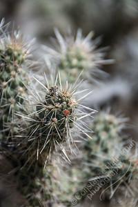 Joshua Tree National Park - cactus