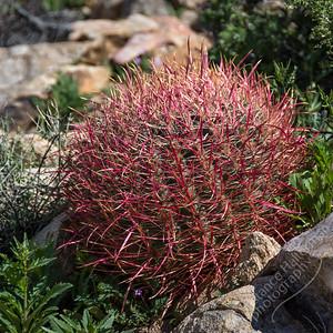 Joshua Tree National Park  - barrel cactus