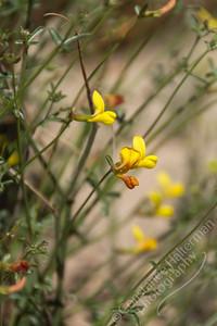 Joshua Tree National Park - desert rock pea
