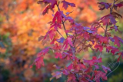 Squaw Peak Road - Autumn leaves
