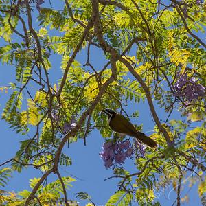 Brisbane - Blue-faced Honeyeater