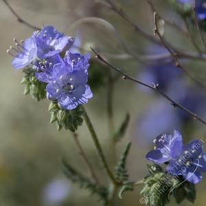 Joshua Tree National Park - wild heliotrope