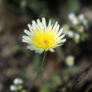 Joshua Tree National Park - desert dandelion