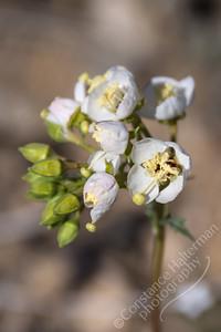 Joshua Tree National Park - brown-eyed primrose