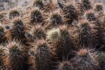 Joshua Tree National Park  - cholla cactus