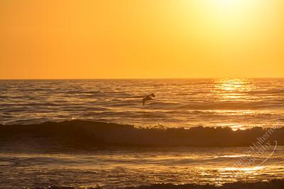 South Carlsbad State Beach - California brown pelican