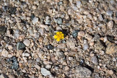 Joshua Tree National Park - Wallace's woolly daisy