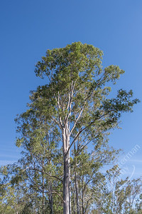 Brisbane - eucalyptus tree