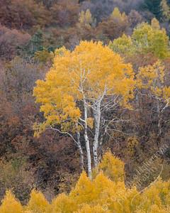 Stewart Falls trail - aspens