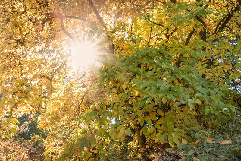 Sunburst through a tree at the Washington Park Arboretum