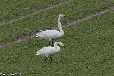 Bewick's swan (below) and whooper swan . Annisse, Danmark. Feb-2019