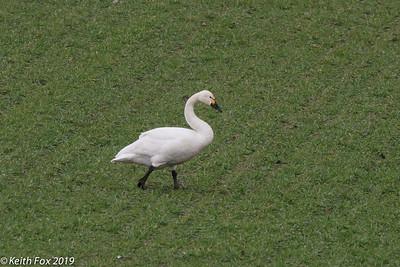Bewick's swan, Pibesvane (Cygnus columbianus bewickii). Annisse, Danmark. Feb-2019