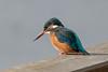 Common kingfisher, Isfugl, Alcedo atthis. Vaserne, Holte, Danmark. Feb-2018