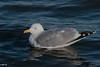 Herring gull; Sølvmåge; Larus argentatus, Rungste, Danmark. Feb-2018