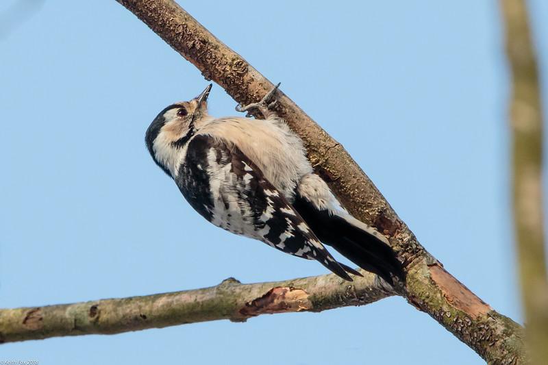 Lesser spotted woodpecker, Lille flagspætte, Dendrocopos minor. Female, Vaserne, Danmark, Mar-2018