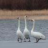 Mute swan, Knopsvane, Cygnus olor. Vaserne, Holte, Danmark, Mar-2018