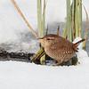 Eurasian wren, Gærdesmutte, Troglodytes troglodytes. Vaserne, danmark, Mar-2018