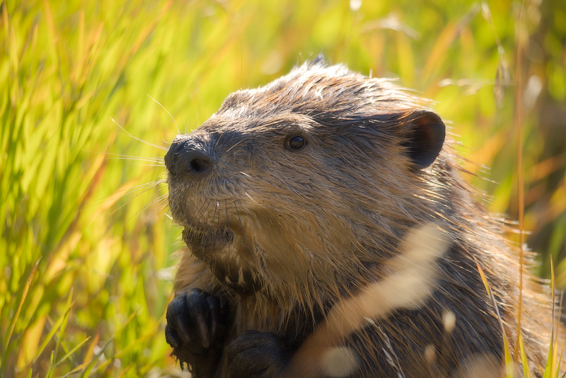 The Majestic Beaver