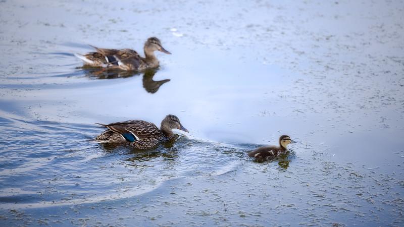 Mallard Duck and Duckling in Pond