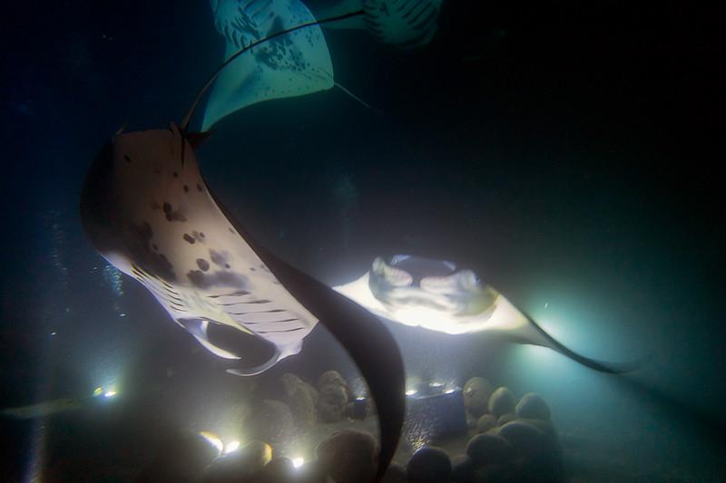 Manta Ray Dive 5