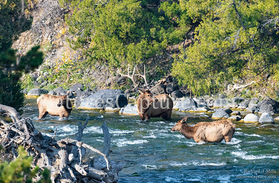 Elk in the Gardner River