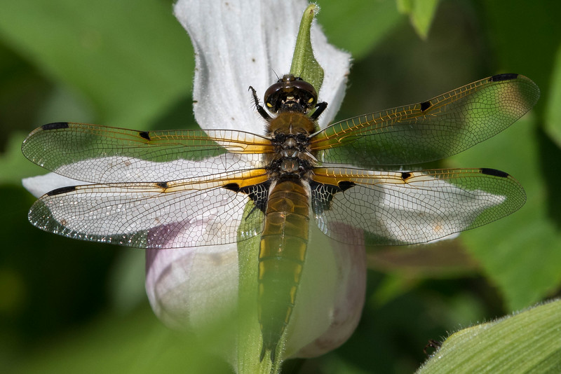 A Four-spotted Skimmer dragonfly is resting on the Queen's Lady's Slipper