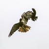 Aerial combat between a Red-tailed Hawk and Blackbird