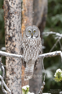 Great Gray Owl Fishing Bridge area