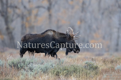 Fall moose near Ditch Creek