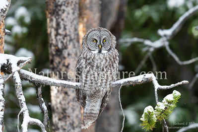 Great Gray Owl in early fall snow Fishing Bridge area