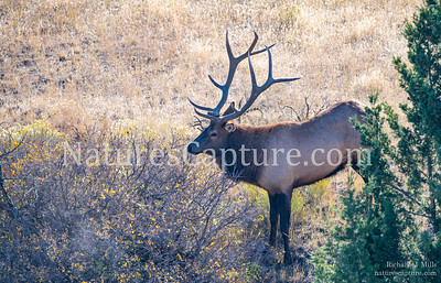 Elk near Gardner River