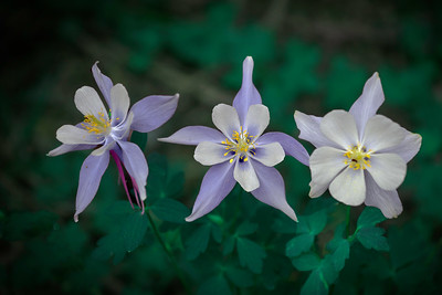 Three Columbine