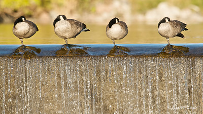 """Water"" Exhibition in Singapore Botanical Gardens, Singapore Dec 2009 - a joint community project between Singapore Botanical Gardens and ExxonMobil Asia Pacific Pte Ltd  Canadian geese at Idaho Falls, Idaho, USA"
